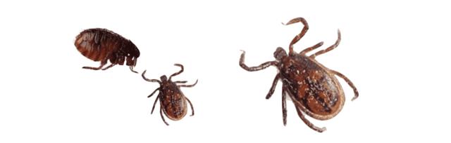 Le malattie trasmesse da zanzare, zecche e pulci sono triplicate nell'ultimo decennio.